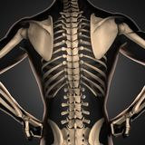 Human radiography scan  with bones. 3D rendered Stock Image