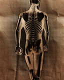 Human radiography scan  with bones painted Royalty Free Stock Photo