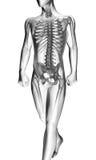 Human radiography scan Royalty Free Stock Image