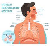 Human Respiratory System anatomical vector illustration, medical education cross section diagram with lungs and alveoli.