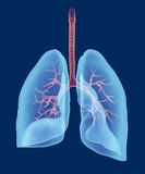 Human respiratory system 3d render Stock Images