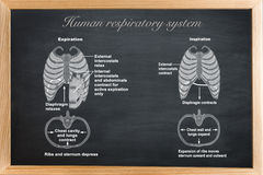 The Human respiratory system. Didactic board of anatomy of Human respiratory system stock illustration
