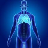 Human Respiratory System and Heart with Skeleton Body Anterior view. When you breathe in, your respiratory system receives fresh oxygen. The oxygen first goes Royalty Free Stock Photos
