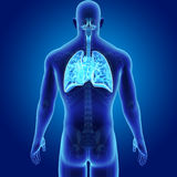 Human Respiratory System and Heart with Skeleton Body Posterior view. When you breathe in, your respiratory system receives fresh oxygen. The oxygen first goes Royalty Free Stock Photography
