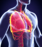 Human Respiratory System Royalty Free Stock Images
