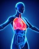 Human Respiratory System Royalty Free Stock Image