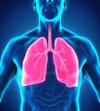 Human Respiratory System. Illustration. 3D render Royalty Free Stock Images