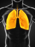 Human Respiratory System. Illustration. 3D render Royalty Free Stock Photos