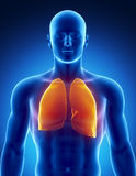 Human respiratory system with lungs Royalty Free Stock Images