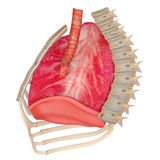Human Respiratory System Stock Images