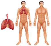 Human respiratory system. The human respiratory system on a white background Royalty Free Stock Photography