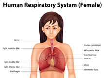 Human respiratory system Royalty Free Stock Image