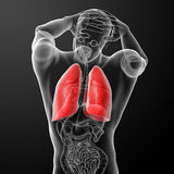 Human respiratory system in x-ray Royalty Free Stock Images