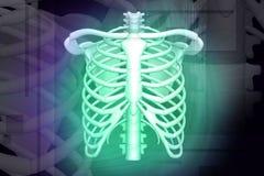 Human rib Royalty Free Stock Images