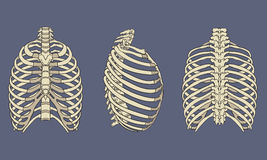Human Rib Cage Skeletal Anatomy Pack. Vector illustration of Human Rib Cage Skeletal Anatomy Pack Stock Photo
