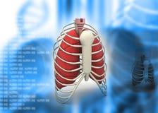 Human rib Stock Photo