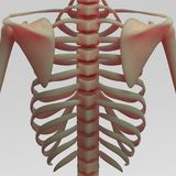 Human ribs and clavicle. Human skeleton rib cage with clavicle joints stock illustration