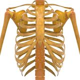 Human Ribs with Scapula Bones royalty free illustration