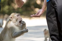 Human's hand feed monkey Stock Photography