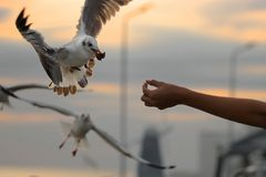 Human`s hand feeding seagulls . Selective focus and shallow depth of field. Human`s hand feeding seagulls . Selective focus and shallow depth of field Royalty Free Stock Image