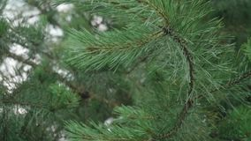 Human`s hand pushes fir tree branch and after rain drops fall down. Slow motion view stock video footage
