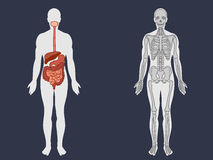 Human's skeletal and digestive system Stock Photo