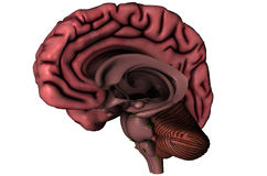 Human sagittal brain. Human brain sagittal hemispheric anatomical view 3D illustration with deep brain structures on white background vector illustration