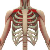 Human Scapula with ribs Royalty Free Stock Photography