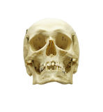 Human scull Stock Photo