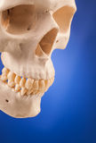 Human scull and blue background Stock Photos