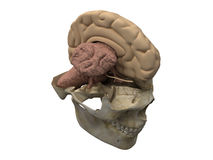 Human scull, brain hemisphere and cerebellum. Section view of human scull and brain - main organ of the central nervous system. One hemisphere is removed. 3D Stock Photos