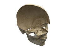 Human scull diagonal section. Semi diagonal cross section view of human scull. Anatomy illustration. 3D computer generated medical image Royalty Free Stock Photo