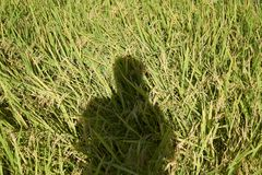 A human shadow reflect on the rice field. Rice field surrounding by Japanese community in Yamaguchi City, Japan Stock Photography