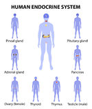 Human silhouette with endocrine glands. icons set Royalty Free Stock Photos