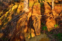 Human silhouette under hanging tree roots Stock Photo