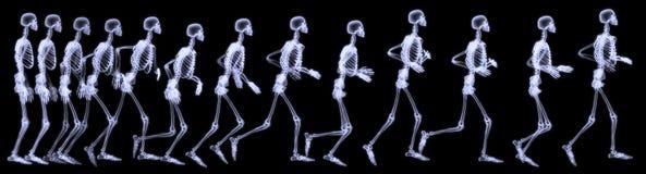 Human skelegon running Royalty Free Stock Image