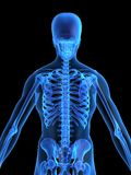 Human skeletal back Royalty Free Stock Photo