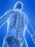 Human skeletal back royalty free illustration