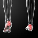 Human Skeletal  Feet Stock Photo