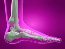 Human skeletal foot Stock Photos