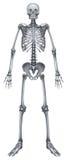Human skeletal system Stock Photos