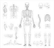 Human skeleton Stock Images