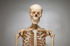 Human Skeleton. Over grey background Royalty Free Stock Image