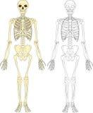 Human skeleton Royalty Free Stock Images