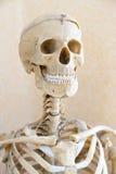 Human skeleton. A fake human skeleton, a head shot stock image