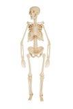 Human skeleton. On a white background stock photo