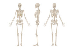 Human Skeleton Royalty Free Stock Image