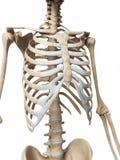 Human skeleton 免版税库存图片