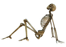 Human Skeleton Stock Photography