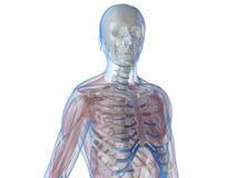 human skeleton Στοκ εικόνα με δικαίωμα ελεύθερης χρήσης